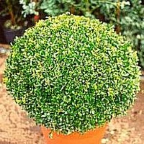 Kugleklippet buksbom (Buxus sempervirens) -35 cm kugle i potte.