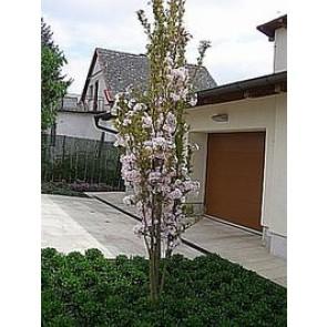 Japansk søjlekirsebær (Prunus serrulata 'Amanogawa') - Træ i potte 125-150 cm