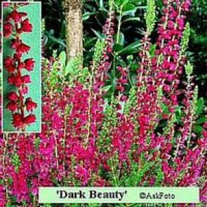 Efterårslyng (Calluna vulgaris 'Dark Beauty') - CO