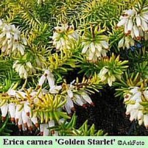 Forårslyng (Erica carnea 'Golden Starlet') - -