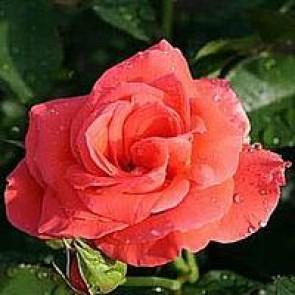 Storblomstret rose (Rosa 'Prinsesse Marie ) - Barrodsrose A-kvalitet - Sælges kun i bundter á 5 stk
