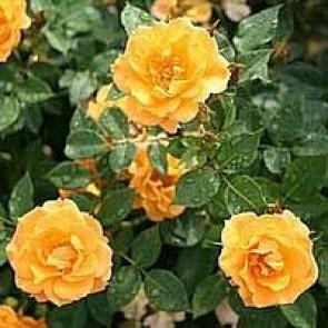 Bunddækkende rose (Rosa 'Flaming Cover' ) - Towne- & Countryrose i 4 l potte