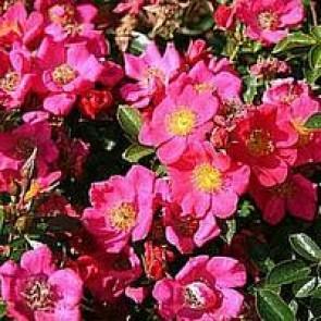 Bunddækkende rose (Rosa 'Tommelise') -  Bunddækkerose i 4 l potte