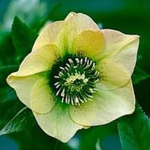 Julerose (Helleborus hybr. 'Yellow Lady') - Staude i 1 liter potte