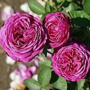 Buketrose (Rosa 'Heidi Klum'®) - Buketrose i 4 l potte