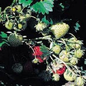 Jordbær 'Polka' (Fragaria ananassa 'Polka') - 6 stk. i plastbakke