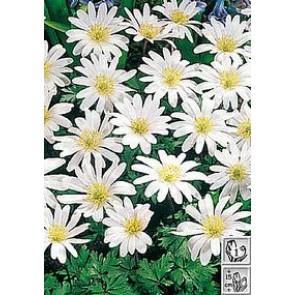 Balkan-anemone (Anemone blanda 'White splendour')  Staude i 10 x 10 cm potte - Sælges kun i pakke á 3 stk.