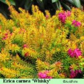 Forårslyng (Erica carnea 'Whisky') - P 10,5