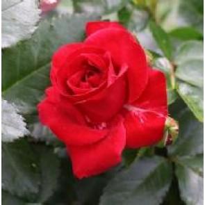 Buketrose (Rosa 'Allotria') - Buketrose i 4 l potte