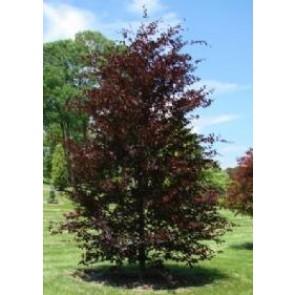 Blodbøg (Fagus sylvatica 'Riversii') - Træ i potte 175-200 cm