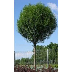 Kuglekirsebær (Prunus eminens 'Umbracullifera') - Podet træ på 180 cm stamme