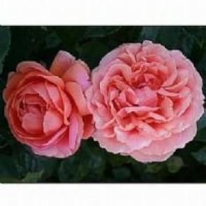 Storblomstret rose (Rosa 'Chippendale' ®) - Storblomstret rose i 4 l potte