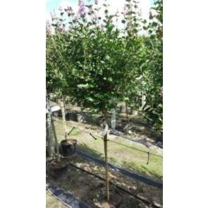 Dværgsyren (Syringa meyeri 'Palibin') - Podet træ på 60 cm stamme