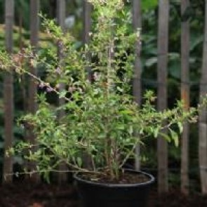 Gojibær  ( Lycium barbarum 'Sweet Life Berry' ) - Buske i 5 liters potte