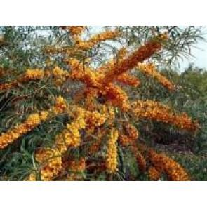 Havtorn (Hippophae rhamnoides 'Frugana') Hunplante - Buske i 5 liters potte