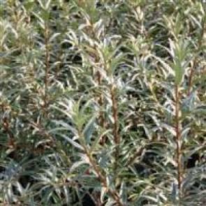 Havtorn (Hippophae rhamnoides 'Pollmix 4') Hanplante - Buske i 5 liters potte