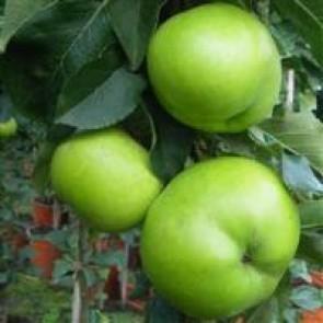 Søjleæble 'Greencats' - 2 års søljeæble i potte 80-100 cm