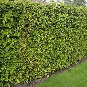 Almindelig bøg (Fagus sylvatica) - 3 års planter 70-110 cm, omplantede med mange sidegrene til jorden
