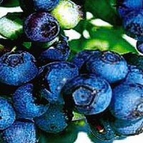 Blåbær 'Patriot' (Vaccinium corymbosum 'Patriot') - Buske i 5 liters potte