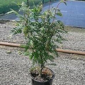 Perlerøn (Sorbus koehneana) - Co buske