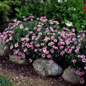 Storkenæb (Geranium cinereum 'Ballerina') - Staude i 10 x 10 cm potte
