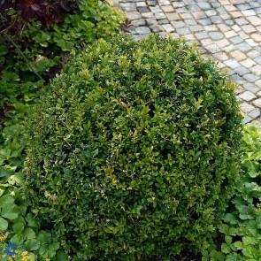 Almindelig buksbom, Formklippet kugle (Buxus sempevierens) - Ø20 cm kugle i potte