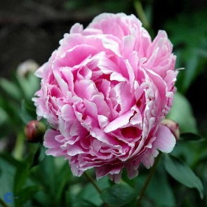 Silkepæon (Paeonia lactiflora 'Sarah Bernhardt') - Staude i 2 liter potte