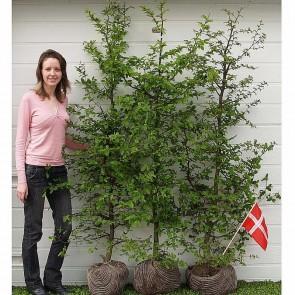 PRIMA FÆRDIGHÆK® Avnbøg (Carpinus betulus) - 125 cm.