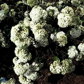 Duft-snebolle (Viburnum 'Eskimo') - CO/MK 30-40 cm.
