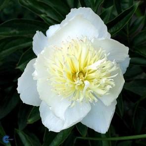 Silkepæon (Paeonia lactiflora 'Duchesse de Nemours') - Staude i 2 liter potte