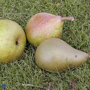 Pæretræ med tre sorter (Herrepære/Clara Frijs/Grev Moltke) - Triotræ