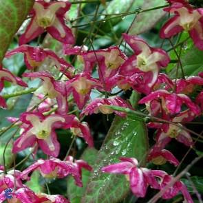 Bispehue (Epimedium rubrum) - Staude i 10 x 10 cm potte