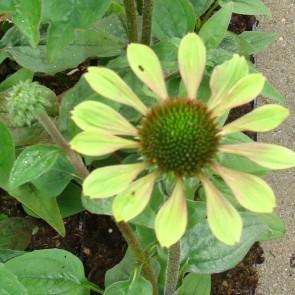 Purpursolhat (Echinacea pur. 'Green Envy') - Staude i 1 liter potte