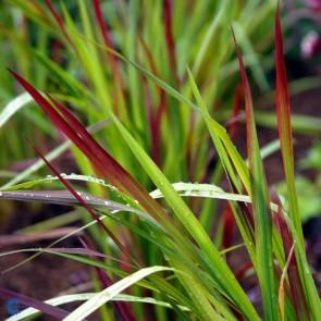 Blodgræs (Imperata cylindrica 'Red Baron') - Græs i 10 x 10 cm potte