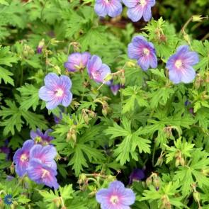 Storkenæb (Geranium Himalayense 'Gravetye' ) - 30-50 cm - Staude i 10 x 10 cm potte - Sælges kun i pakke á 3 stk.