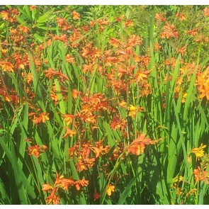 Montbretia (Crocosmia 'Red King') - Staude i 1 liter potte