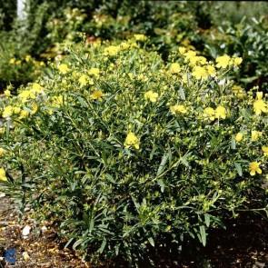 Kalmisk perikon (Hypericum kalmianum 'Gemo') - Buske i 3,5 liters potte
