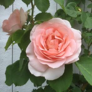 Buketrose (Rosa 'Clair Rennaissance') - Renaissancerose i 4 l potte