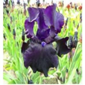Haveiris (Iris germanica 'Black Dragon') - Staude i 1 liter potte