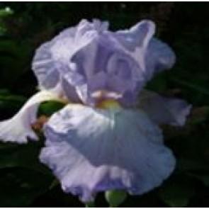Haveiris (Iris germanica 'Springtime Madonna') - Staude i 1 liter potte - Sælges kun i pakke á 3 stk.
