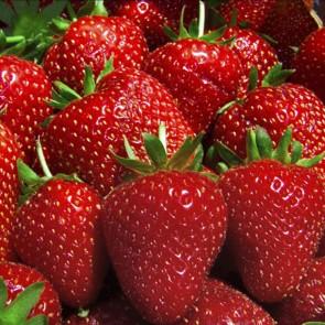 Jordbær 'Florence''- 6 stk. i plastbakke