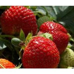 Jordbær 'Honeyeye' - 6 stk. i plastbakke