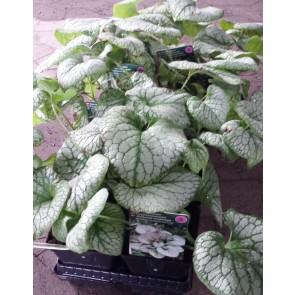 Kærmindesøster 'Jack Frost' (Brunnera macrophylla 'Jack Frost') - Staude i 1 liter potte