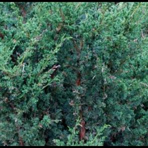 Kinesisk enebær (Juniperus chinensis 'Blaauw')  - 2 liter potte 30-40 cm