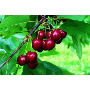 Kirsebær 'Embla' på svag grundstamme - Dværgtræ på 40 cm stamme