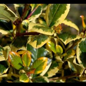 Kristtorn (Ilex aquifolium 'Golden King') - Busk i 3,5 liter potte 30-40 cm