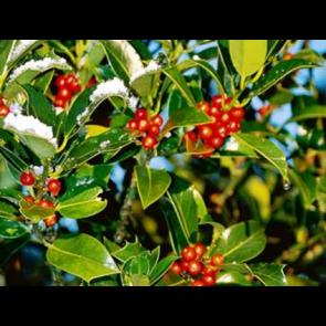 Kristtorn (Ilex aquifolium 'J.C. van Tol') - Busk i 5 liter potte 50-60 cm