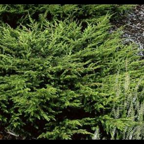 Krybende enebær (Juniperus communis 'Repanda') - 2 liter potte 20-25 cm