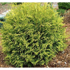 Kuglethuja (Thuja occidentalis 'Golden Globe') - 2 liter potte 25-30 cm