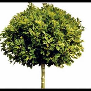 Kugleplatan (Platanus acerifolia 'Alphen's Globe') - Podet træ på 150 cm stamme